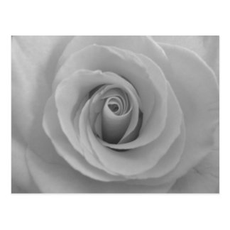 Black and White Rose Post Card