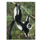 Black and White Ruffed Lemur, (Varecia Postcard