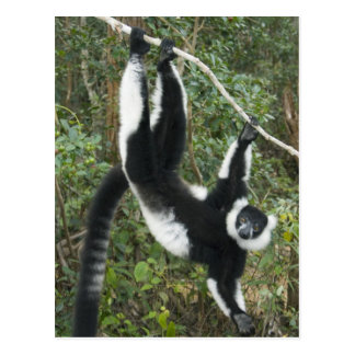 Black and White Ruffed Lemur, (Varecia Postcard