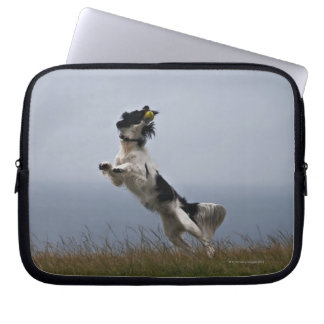 black and white Springer Spaniel playing with Laptop Sleeve