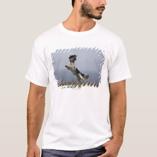 black and white Springer Spaniel playing with T-Shirt