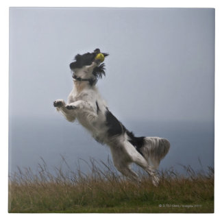 black and white Springer Spaniel playing with Tile