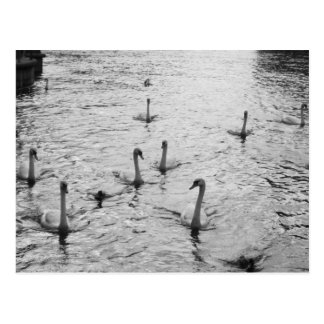 Black and white swans postcard