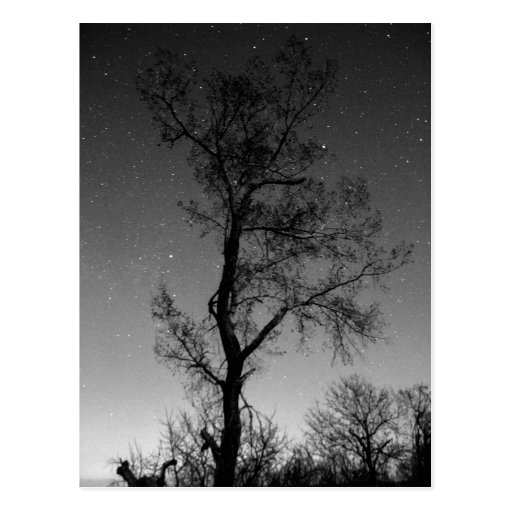 Black and white Tree at night Postcard
