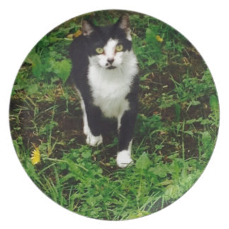 Black and white tuxedo cat in the green grass plate