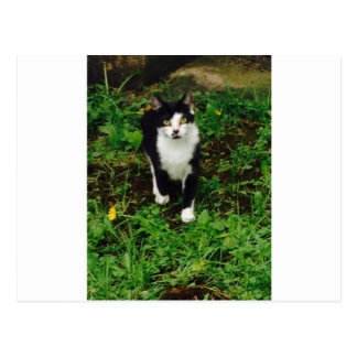 Black and white tuxedo cat in the green grass postcard