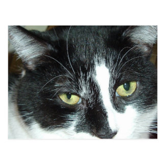 Black and White Tuxedo Cat Postcard