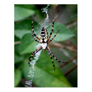 Black-and-Yellow Argiope Postcard