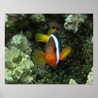 Black Anemonefish (Amphiprion melanopus) in Poster