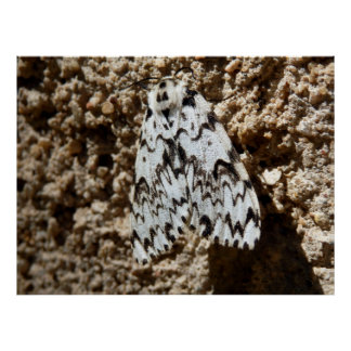 Black Arches Moth Poster
