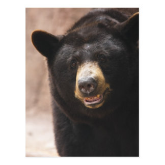 Black Bear 142 Postcard