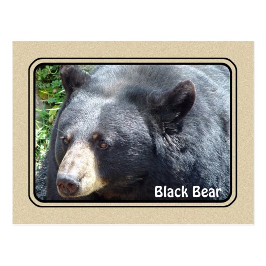 Black Bear Animal Postcard