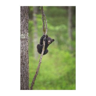 Black bear cub playing, Tennessee Canvas Print
