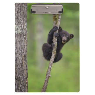 Black bear cub playing, Tennessee Clipboards