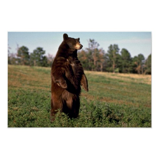 Black Bear standing erect Poster