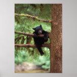black bear, Ursus americanus, cub in a tree Posters
