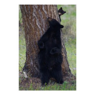 Black Bears, Sow and Cub Poster