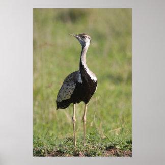 Black-Bellied Bustard, Ngorongoro Conservation Poster