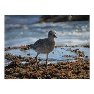 Black-bellied Plover 16x12 Canvas Poster Print