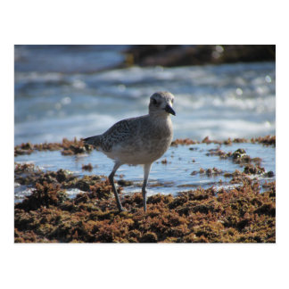 Black-bellied Plover Postcard