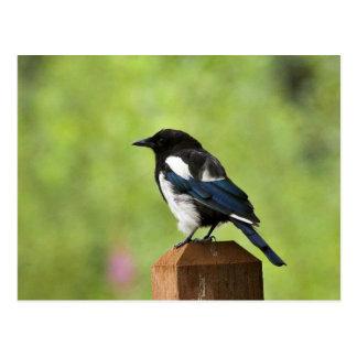 Black-billed magpie postcard