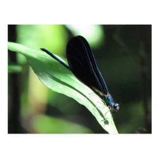 Black & Blue Damselfly Postcard