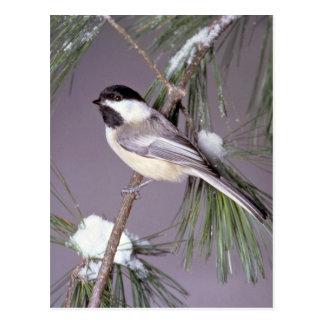 Black-capped Chickadee ? gray background Postcard
