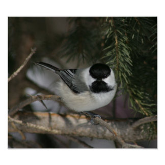 Black Capped Chickadee Print