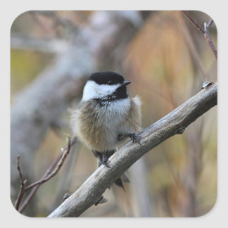 Black-capped chickadee square sticker