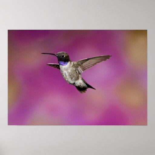 Black-chinned Hummingbird, Archilochus Print
