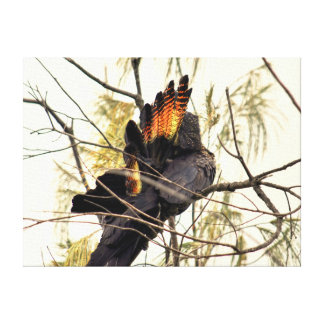 BLACK COCKATOO QUEENSLAND AUSTRALIA CANVAS PRINT