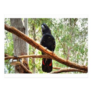 BLACK COCKATOO QUEENSLAND AUSTRALIA POSTCARD