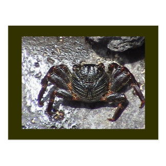 Black Crab Postcard