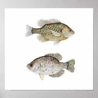 Black Crappie & Redear Sunfish Poster