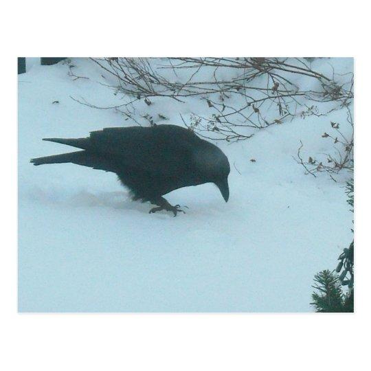 Black Crow in Winter Postcard