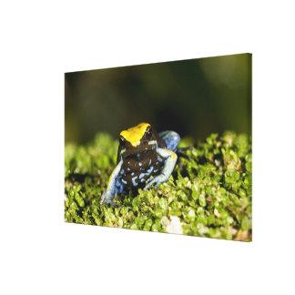 Black-eared Mantella, Mantella expectata, 2 Canvas Print