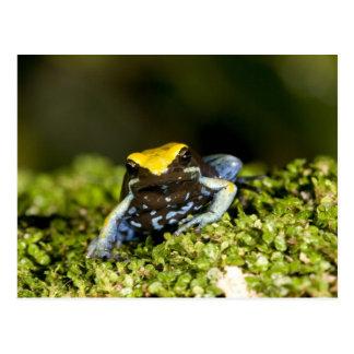 Black-eared Mantella, Mantella expectata, 2 Postcard
