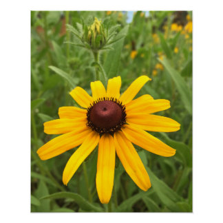 Black-eyed Susan and Bud Photograph Poster