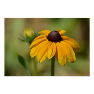 Black Eyed Susan Flower Photography Poster
