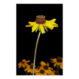 Black Eyed Susan on Black Background Poster