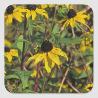 Black-Eyed Susan Wildflower Square Sticker