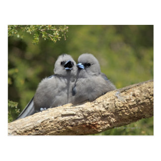 Black Faced Woodswallow, Artamus cinereus Postcard