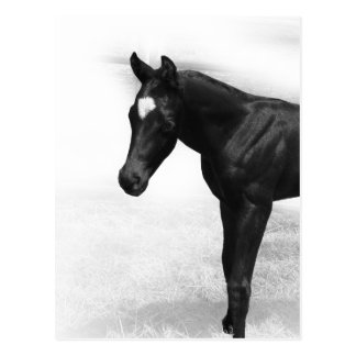 Black Foal Post Cards