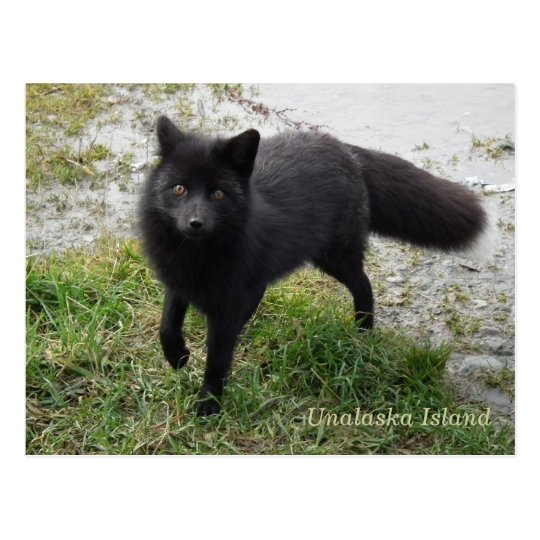 Black Fox on Unalaska Island Postcard