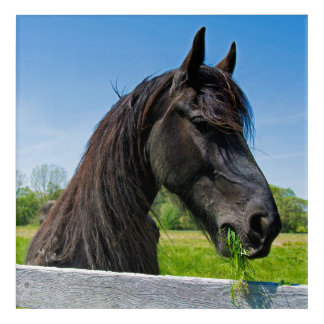 black Friesian horse eating grass Acrylic Wall Art