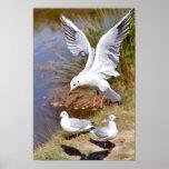 Black-headed Gull in flight Poster
