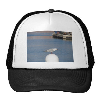 Black-headed gull perched on post calling trucker hat