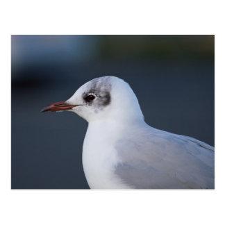 Black-headed Gull Postcard