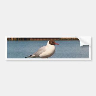 Black-headed gull, Scotland Bumper Sticker