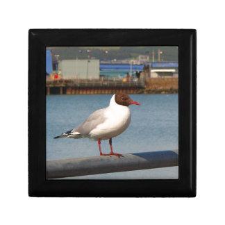 Black-headed gull, Scotland Gift Box